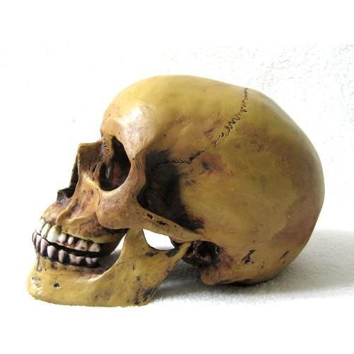 Teschio anatomico con mascella inferiore